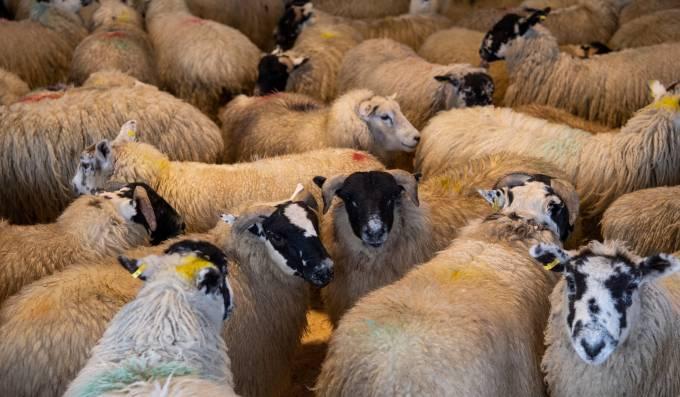 Trade Talk Ian Atkinson Bsc (Hons) reviews the spring sheep and lamb trade
